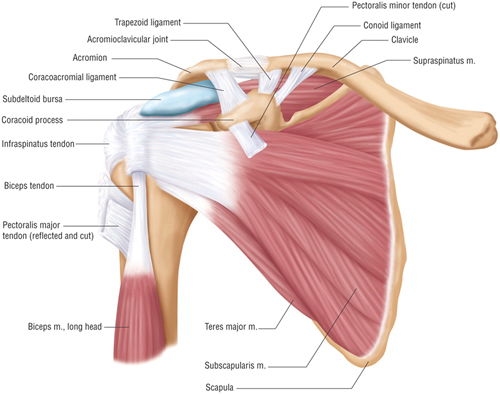 Shoulder Pain / Injury - Massage and Injury Management Clinic