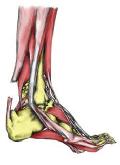 Achilles Tendinitis - Massage Perth